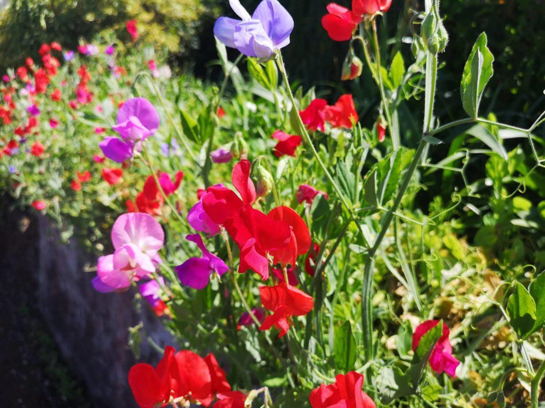 Rejtett kincsek Madeirán Lindával, Botanikus Kert borsó