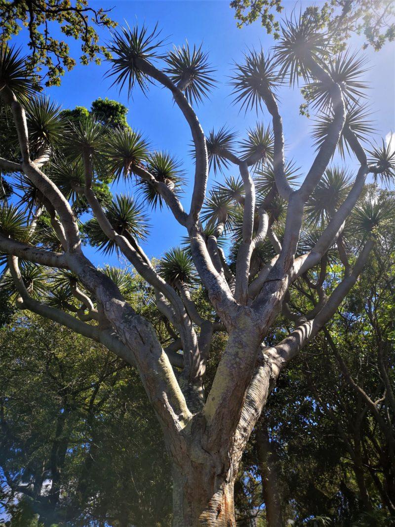 Bakancslistás látnivalók Madeirán Lindával, Botanikus Kert sárkányfa